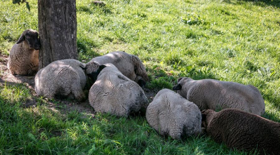 Rotterdam wil daken isoleren met schapenwol